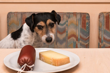 Tricolor Broken Hairy Jack Russell Terrier - Little cute dog obediently sits at the table eating