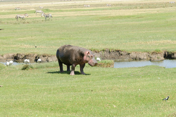 Closeup of Hippopotamus in Ngorongoro park