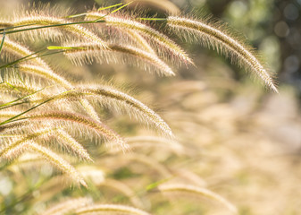 Closeup of Beautiful grass flowers (poaceae), as background.