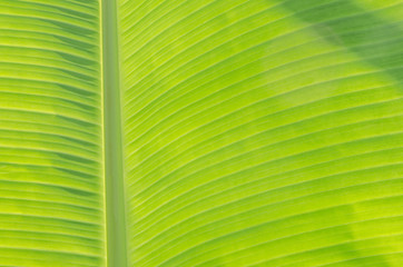 beautiful nature green banana leaf texture background