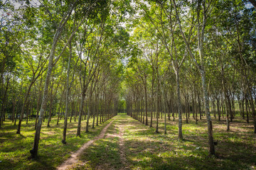 Tropical rubber plantation in Thaoland.