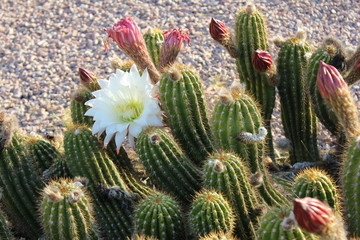 High-desert mountains in the north to subtropical desert lowlands in the south, Arizona presents a variety of discrete desert ecosystems, each providing habitat for numerous species of cacti. Cactus.