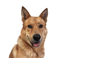 portrait of big red dog
