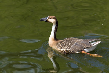 wild goose in the lake