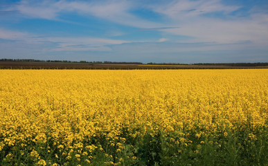 Huge field with yellow rapeseed flowers with green leaves, blue sky with white flowers. Colorful picturesque summer time bright sunny day view. Russia country