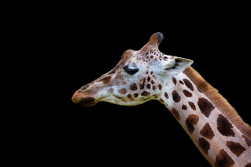 Giraffe, a portrait on a black background