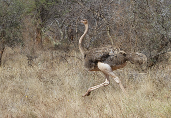 Femzle African ostrich (Struthio camelus) running in savanna, Tsavo East National Park, Kenya.
