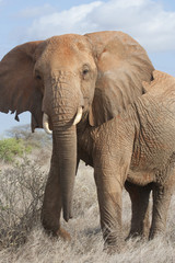 African elephant (Loxodonta africana) in savanna of Tsavo East National Park, Kenya
