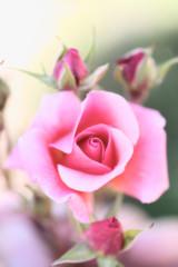 rose,fleur
