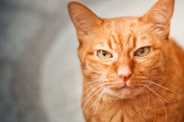 Beautiful muzzle of a red cat close-up, old wise cat with big green eyes, emotion of pets, selective focus.