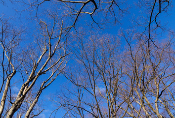 Dried trees under blue sky at sunny day