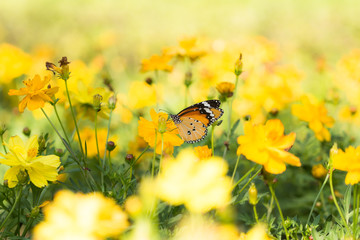 Yellow cosmos flowers and butterfly