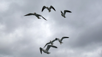 Gabbiano in volo sul cielo grigio