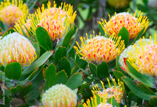 A Flowers Of A Protea A Beautiful Symbol Of South Africa Close Up