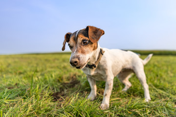 Jack Russell Terrier 10 years old - hair is smooth - little dog happily stands in a meadow after digging for mice