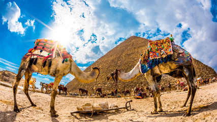 Two camels in front of the great pyramid of Giza, Egypt