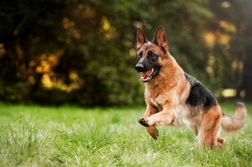 Running german shepherd dog Fototapete