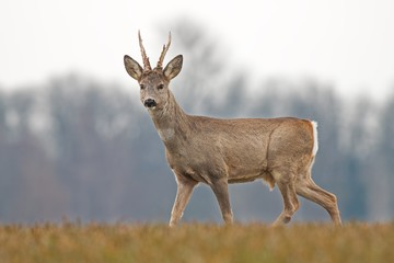 Roe deer, capreolus capreolus, buck in spring with new antlers. Wild animal with blurred background. Roebuck in spring. Majestic old male deer standing proudly. Wildlife scenery.