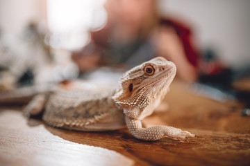 Wall Mural - Lizard on the wooden table