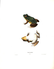 Illustration of a frog