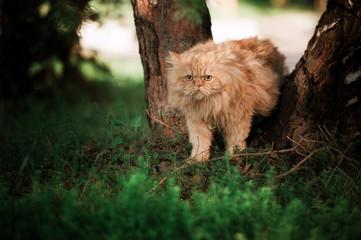 Walking persian cat