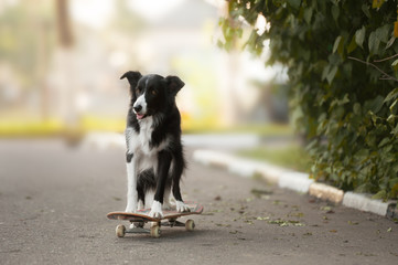 Border collie standing on the skateboard