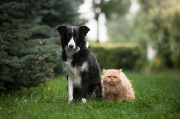 Border collie and the persian cat