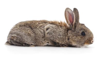 One brown rabbit.