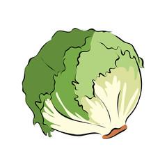 Hand drawn green lettuce, vector
