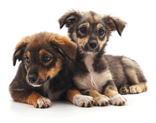 Two brown puppies.