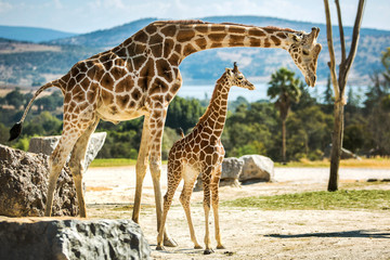 In de dag Giraffe Giraffe family on a walk