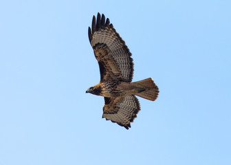 Red-tailed hawk flying, seen in the wild in North California