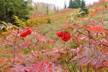 Mountain Ash Berries - Bright red mountain-ash berries blooming at side of a steep hill in Routt National Forest of Colorado Rocky Mountains, USA.