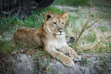 Single young lion