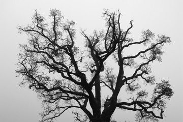 Black and White Silhouette of Oak Tree Branch