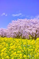 満開の桜と菜の花