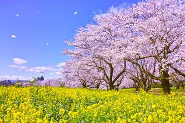 Fotobehang Kersenbloesem 満開の桜と菜の花と桜吹雪