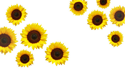 Isolated yellow sunflower flowers on white background