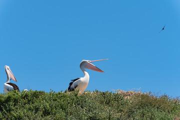 Pelikan im Profil mit Blickrichtung nach rechts und offenem Schnabel