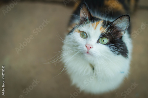 cb6fa6e2dc1 Young turtle three-colored hungry cat looking sad. Calico cat with green  eyes waiting for food. Portrait of asks tortoiseshell cat.