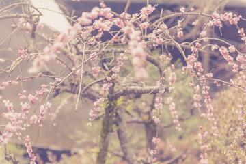 blooming plum in Kyoto. Japan