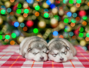 Two sleeping puppies  on a background of the Christmas tree. Space for text