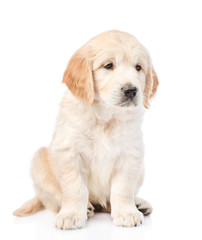 Cute golden retriever puppy sitting and looking away. isolated on white background