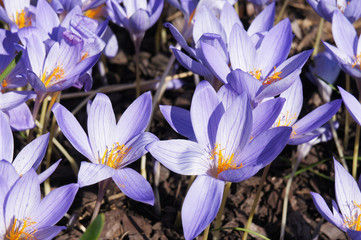 Autumn crocus or crocus pulchellus or meadow saffron or naked ladies purple flowers with yellow core on ground