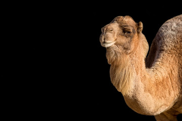 Camel on a black background, a portrait