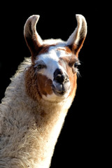 Lama on a black background, a portrait
