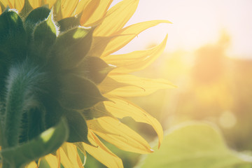 close up of a sunflower - vintage