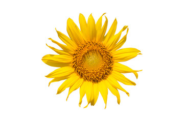 sunflower isolated on white background - clipping paths