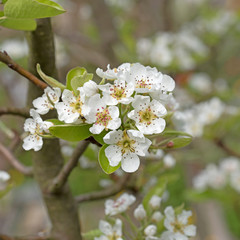 Blühender Birnbaum, Birne, Pyrus, Blüten