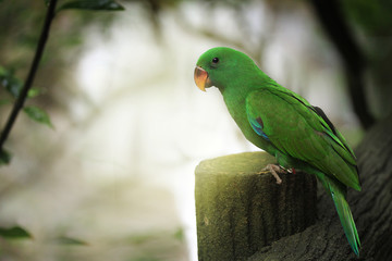 Male Eclectus Parrot perched on a pole tree path in the National Park.
